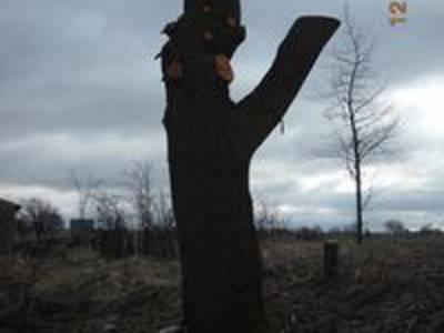 Unsachgemäßer Baumschnitt (Kronenkappung) 2