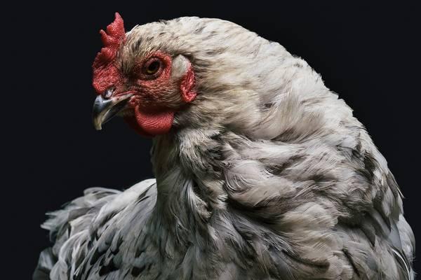Huhn auf schwarzem Hintergrund