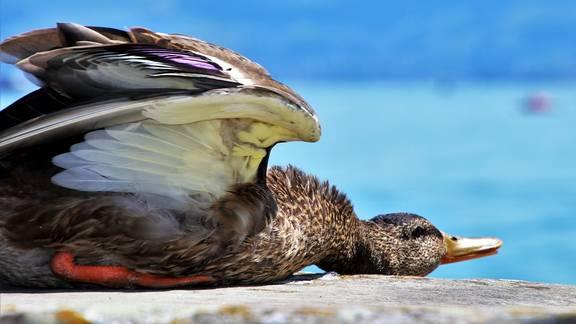 Eine Ente, liegend