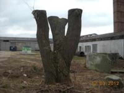 Unsachgemäßer Baumschnitt (Kronenkappung)